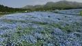 Nemophila field in full bloom and Kuju mountain range (pan) 77476963