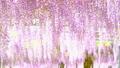 紫藤花 日本紫藤 紫藤 77484082
