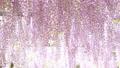 紫藤花 日本紫藤 紫藤 77484083
