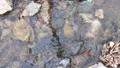 日本・埼玉県・秩父の川辺風景。秩父のあしがくぼ・横瀬川の流れ。5月の風景。 77512799