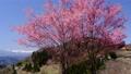 Haruyama and cherry blossoms 77515067
