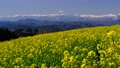 Northern Alps and rape field 77515068