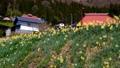 daffodil, narcissus, daffodils 77515070