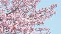 櫻花 櫻 賞櫻 77516904
