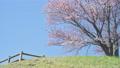 櫻花 櫻 賞櫻 77516905