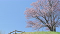 櫻花 櫻 賞櫻 77516906