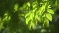 foliage, leaf, leafs 77523169