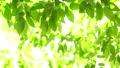 foliage, leaf, leafs 77523170