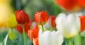 鬱金香 鬱金香花叢 花朵 77530306