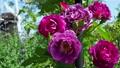 A beautiful rose 77531785