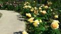 rose, roses, bloom 77533086