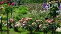 Rose garden in full bloom 77533090
