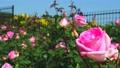 Rose garden in full bloom 77533092