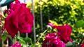 Brilliant red rose 77533098
