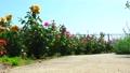 rose, roses, bloom 77533099