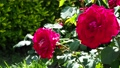 Brilliant red rose 77533101