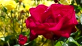 Brilliant red rose 77533222