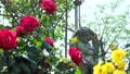 Rose garden in full bloom 77533225