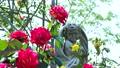 Rose garden in full bloom 77533226