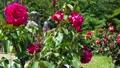 Rose garden in full bloom 77533227