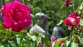 Brilliant red rose 77533228