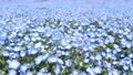 Nemophila在初夏 77553710