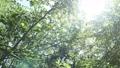 翠綠 鮮綠 透過樹葉的陽光 77553714