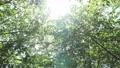 翠綠 鮮綠 透過樹葉的陽光 77553715