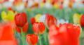 鬱金香 鬱金香花叢 花朵 77569304