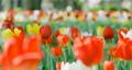 鬱金香 鬱金香花叢 花朵 77569306