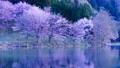 Cherry blossoms at Nakanishi 77665470