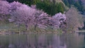 Cherry blossoms at Nakanishi 77665471
