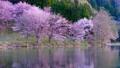 Cherry blossoms at Nakanishi 77665472