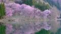 Cherry blossoms at Nakanishi 77665473