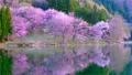 Cherry blossoms at Nakanishi 77665474