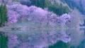Cherry blossoms at Nakanishi 77665477