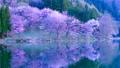 Cherry blossoms at Nakanishi 77665478
