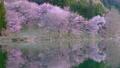 Cherry blossoms at Nakanishi 77665481
