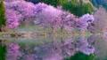 Cherry blossoms at Nakanishi 77665482