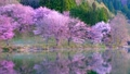 Cherry blossoms at Nakanishi 77665484