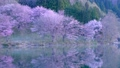 Cherry blossoms at Nakanishi 77665485