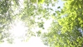 新緑の葉 植物 背景 樹木 落葉樹 77772201