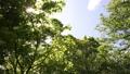 新緑の葉 植物 背景 樹木 落葉樹 77772204