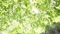 新緑の葉 植物 背景 樹木 落葉樹 77772205