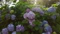 수국, 자양화, 식물 78168848