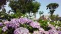 수국, 자양화, 식물 78168849