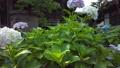수국, 자양화, 식물 78168852