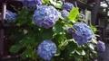 수국, 자양화, 식물 78168856