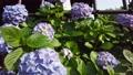 수국, 자양화, 식물 78168857