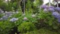 수국, 자양화, 식물 78168858